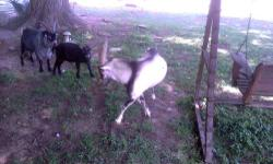 Nigerian Dwarf/Pygmy Goat Kids For Sale $20.00 each-- 2 Bucks-- 1 Black, 1 White They are small babies, need to be with small goats only ! 6 Months Old Call or E-Mail for More Information ! Serious Inquiries ONLY !!!!!!!!!!!!!!!!!!!!