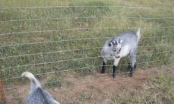 We've got a blue eyed baby girl Nigerian Dwarf & a super sweet pygmy/nigerian cross wether. Both are still babies. See them on our website at http://www.fallentimbersfarm.com/for_sale Vaccinated, wormed, & ready to wean.