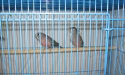 six young normal bourkes..$50.00 each no cage local pick up area of Michigan city / la porte, in phone 219 879-9208