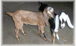 I have two Nubian bucklings that are 100%. D.O.B. 04/25/2016! Spoiled rotten and love attention. Great bloodlines. The boys are now 9 weeks old! For more information Please contact me. Asking $350/OBO each