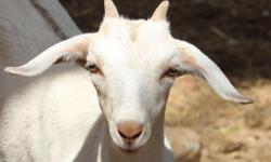 One white doeling, 1/2 Boer 1/2 Nubian Will be an excellent milker One splashy buckling, 1/2 La Mancha 1/2 Nubian...Can be bred to other La Mancha's or Nubians to their size down. The La Mancha and Nubian does are registered ADGA dairy goats. Top dairy