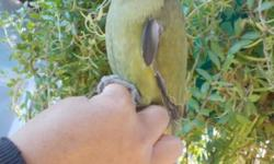 Olive green Indian ring neck, Gender is unknown, its was born on April 2014, tame but it has to get warm up, know how to step up, say some words like peek a boo, baby, Its just start to learn how to talk Learn pretty fast, asking $200 no cage, with cage