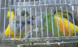 pair of big and beateful crinsom Adelaide orange roselas trade or sale I take bourkes parakets scarlet chested mutation or turquoisines please call 310-844-5287 tankyuo