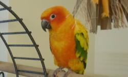 """A one year old Sun Conure with 56""""x32""""x23"""" iron bird cage, travel bird cage, toys, and food for $500. Recently moved to Indianapolis and he doesn?t get the attention that he needs. He is a very tame and friendly bird. He needs a non smoking home with an"""