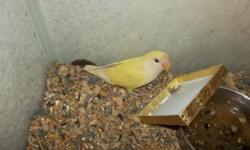 Love Bird Babies. Sweet hand fed babies available most of the time. Various mutations. Some Opalines ,Peach Faced, Fischers and other unusual mutations. Prices vary by mutation.Many pet quality available at 50.00 each. 904-757-0807
