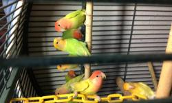 Opaline lovebird 4sale lots of different colors.$50 & up.