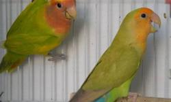 RIGHT NOW I AM HANDFEEDING OPALINE LOVEBIRD BABIES. THERE IS LOTS OF DIFFERENT COLORS TO CHOOSE FROM. 2 GREEN PIED, 1 OLIVE GREEN 6 LUTINO'S SOME SPLIT ORANGEFACE, AND SOME NORMAL RED HEAD LUTINO'S. 1 CREAMINO FEMALE NOT SURE IF SHE IS OPALINE YET. 2 OF