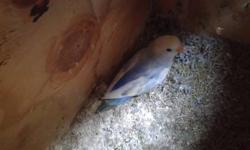 Selling some young opaline lovebirds and Australian yellow all birds are young.Prices range from $40-100 each.For more info please contact me at 323-620-8120 calls only or email me direct at [email removed]