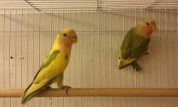 I have two opaline lovebirds 1months both were parent raise & not handfed.don't know sex.Rehoming fee for both is $80FIRM Cash Only! No Cage.Dad is a Lutino Orange Head Opaline & Mom is a Double Factor Violet Pied.Last picture of the parents they are not