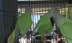 I have 3 Opaline Lovebirds for sale. Not tame and are siblings. They are about 3 months old and are split for Organge Face, if they are males they are split to Aust. Cinnamon & Lutino but Im not sure of their sexes. Last 2 pictures are of the parents.