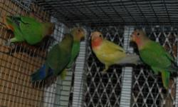 Green Orange head , Green Red Head, Seagreen White Head and double factor turquoise white Head opalines for sale Call :305-345-9185 Verde cabeza naranja, verde cabeza roja, verde mar cabeza blanca y doble factor turquesa cabeza blanca opalinos a la venta