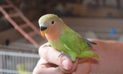 I have two unsexed Peachfaced Lovebirds ready for new homes, hatched 3-11-3. They are green Opaline in color, absolutely stunning and very hard to find around here! They are fully weaned unto a seed/pellet diet and also get fruits, veggies and egg food,