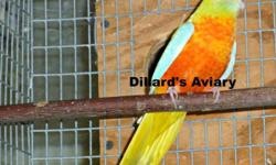PRICE REDUCED. Bonded pair of Green Opaline Split to Dark Eyed Yellow Quakers. $750 reduced to $700. Two yrs. old. Surgically sexed by Scott McDonald. We ship with Delta Airlines only, but you are welcome to pick them up at our farm in Troutville, VA. If