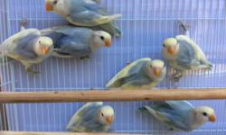 I have more violet opaline pieds for sale, I have 6 males and 4 females.