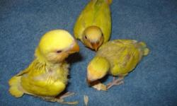closed banded one cinnamon orange face hen and two orange face one cinnamon and one lutino male. they come from a half sider opaline and lutino hen