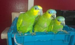 WE HAVE 3 PARROTS **orange wing amazon Babys** 12 weeks old , hand feed 3 times a day. Estos loros tienen UNA AMPLIA CAPACIDAD DE HABLA SON MUY INTELIGENTES .. $900.00 EACH CALL.(832)8812570