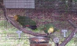 Orange Winged Amazons Hi you are looking at a Beautiful Pair of Orange winged Amazons they are both in perfect feather condition the male is 8 years old the female is 6 years old. I just recently set them up together the male use to be a pet and can be a