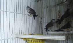 i have for sale young babies nfss 2012 banded owl finches for sale i also have gouldian and canaries. please call or text me at 9174680238. sammy
