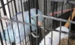 I have for sale White Parrotlet male 1 year old it was hand fed but wasnt handled lately.