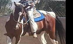 Choctaw is a 13 year old grade gelding 15 hh. He is a good family horse big enough for the man of the house and gentle enough for the kiddo's, good on the trail/arena, rides alone and with other horses, has been ridden all over Norco and Mira Loma, not