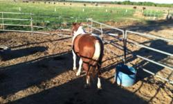 Paint gelding 7 yrs old very nice horse. Could be a good project horse for trail or barrel horse needs to be finished started breaking him ridden 3 times sat for a while now restarting him now gonna be a easy keeper really stout horse must see too