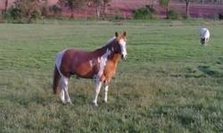 6 Year old Haflinger Paint cross for sale. Needs finished. His ground manners are fantastic. He's been ridden walk and some trot in the round pen. He does need an experienced horse person willing to take the time with him. He's a naturally anxious horse.