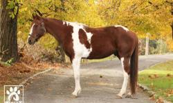 Paint/Pinto - Fortunado - Medium - Adult - Male - Horse Fortunado is a 10 year old pinto gelding. Very calm and level headed this guy is an absolute pleasure to ride. Quiet and not spooky, he would make a great English pleasure, 4-H project, or trail