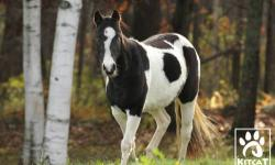 Paint/Pinto - Peppermint - Small - Young - Female - Horse It?s the double mint twins! Peppermint is a 2 year old blue-eyed pinto filly is as sweet as her name. Playful and curious, we just had to save her and her brother Spearmint. She is halter trained