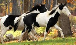 Paint/Pinto - Spearmint - Small - Young - Male - Horse It?s the double mint twins! Spearmint is a full blue-eyed brother to Peppermint. This 1 year old colt is just as sweet as his sister. He is halter trained and will follow you around like a puppy.
