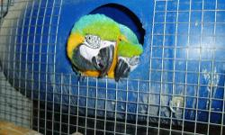 Pair of Blue & Gold Macaws - Female has sciatica and male is very protective of her. Single female Blue & Gold Macaw, could make good pet