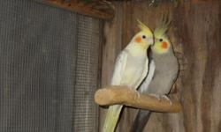 Proven pair cockatiel, Male is Cinnamon grey and female is Cinnamon pearl pied. Make offer for the pair or $65 for the male and $75 for the female Or trade for pair Opaline red rump. Or pair Opaline Love birds but no green
