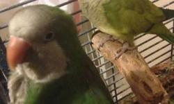 I have 2 Parrots male and female babies they are just about 3 months old they began to understand me now when i say simple words. they are playful , talkative , and very nice to have them around if you are looking to buy one of them I won't sale you i