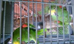 Ihave both male and female, curently breeding, the male is a Panama amazon, the price includes cage,must sell moving.