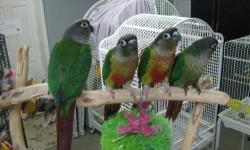 We bought this pair of Green Cheeks from a local breeder here in Saint Louis as a proven pair. They have not been proven by me as I have only had them a few months. They are very much in love with one another and in great shape. They are eating pellets