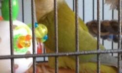 Young pair of cinnamon green cheek conures. They are two years old, sexed, and constantly mating. They are not proven yet, but they are very interested. I have a lot of pairs and want to get down. If interested, please call/text Tricia at 916-308-8088.