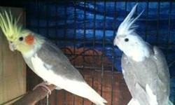 bonded pair of cockatiel 1.5 year old male pie lutino female cinemon pearl This ad was posted with the eBay Classifieds mobile app.