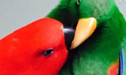 Tame talkative gentle funny adorable pair of Eclectus ready for a nesting box or as super pets!!!! Quiet gentle friendly! $2000 includes both birds, and cage! This ad was posted with the eBay Classifieds mobile app.