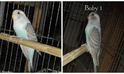 I have a pair of english budgies for sale for $60.00 for the pair . They are about 1 year old each, male & female . No cage. Thank you for looking.