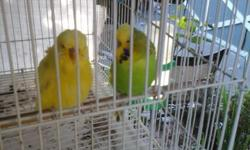 I have a pair of english parakeets the lime green is the male and the female is yellow/green the female is 80% English and 20%Australian