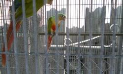 PAIR OF GREEN CHEEK CONURES YOUNG AND FULLY FEATHERED!!!!! THEY ARE 3 AND 4 YEARS OLD!! IF YOU HAVE ANY QUESTIONS PLEASE DO NOT HESITATE TO CONTACT ME AT 786 382 5949 CALL/TEXT/EMAIL. THANKS