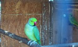 I couple proven pairs of indian ringnecks ,they are 2 years old , really healthy,they start going in to the nest again but i dont have time to handfeed babys now. If your interesting replay to the add or txt to 619-438-3770 Asking 220 make a offert