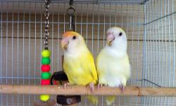 2 lovebirds 1.5 year old male is tame comes w/cage food dishes This ad was posted with the eBay Classifieds mobile app.