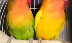 VERY BEAUTIFUL BRIGHT COLORS PAIR OF FISCHER LOVEBIRDS, male is yellow fischers female is green fischers (proven, she will sit on eggs very good even if I open the box to check on her she won't move from her eggs) They are about 2.5 - 3 years old. very