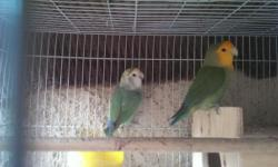 Hi I got for trade a proven pair of lovebirds im looking to trade them for a proven pair of cockatiels thanks..