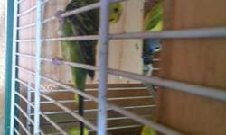 I have 2 pairs of parakeets to rehome. They are in good condition. Very healthy. Not too fat not too skinny. Beautiful straight bright feathers. If you have any question please feel free to ask. Im asking $25 for the pair. $30 with a cage The two first