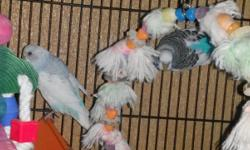 Pair of bonded, proven parakeets. They are not tame. They have beautiful babies, which I've included pictures of. Pick up only.