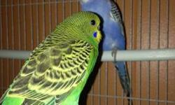 I have a pair of beautiful parakeets you can have them with cage for $55 or without cage for $25 This ad was posted with the eBay Classifieds mobile app.