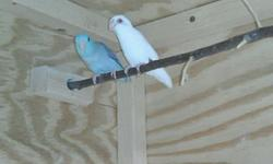 11-24-14 I am downsizing! Price Reduced. I have a female American White (that has breed) and a dilute blue male (that has breed). I put them together and they are bonded but I still have not given them a nest box yet. The American white threw a lot of