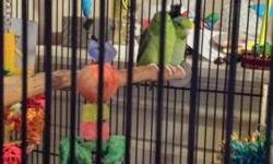 Male/female pair of Parrotlets for sale to good home only. Please do your homework on Parrotlets before you purchase one. Not hand tame. Have bred but not for me. Come with their large flight cage and nest box and the toys and perches in their cage. May