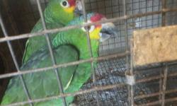 I have a pair of of breeding Red Lore Amazon parrots ins asking $850 for both or$450 for each if interested please contact at (832)-438-2177 or txt please no mails thank u. This ad was posted with the eBay Classifieds mobile app.